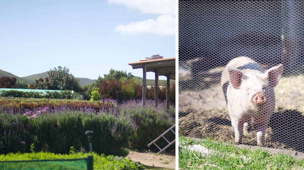 Grootbos-Garden-and-Pig