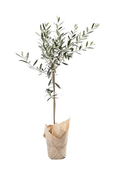 woolworths-patio-olive-tree_400x600