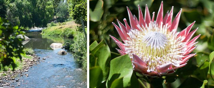 Protea Walk at Spier