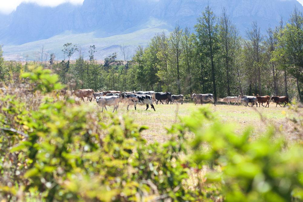Vergelegen_nguni cattle