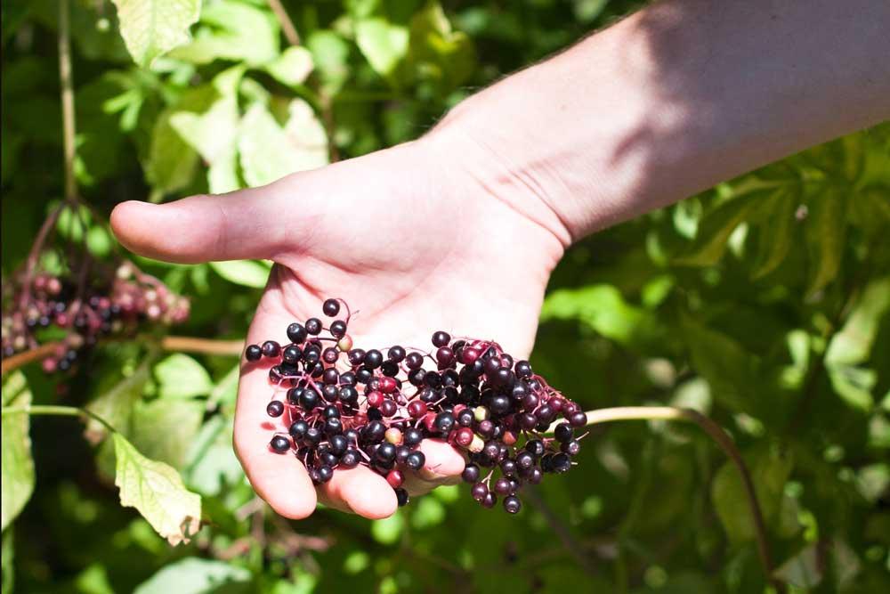 Vergelegen_elderberry