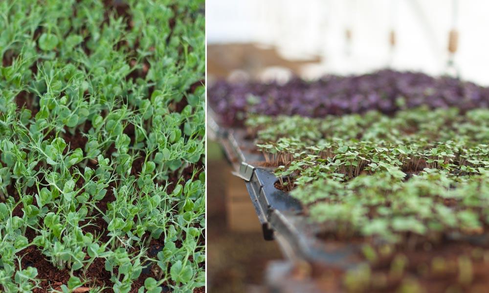 Delaire micro greens