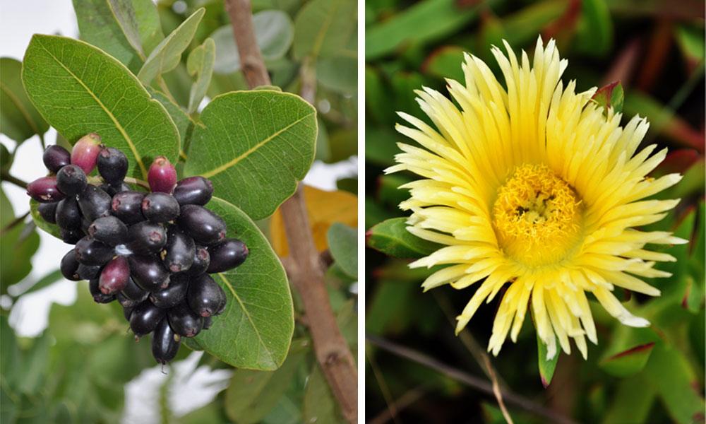 Indigenous-plants-villiera