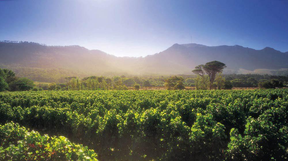 vineyards steenberg