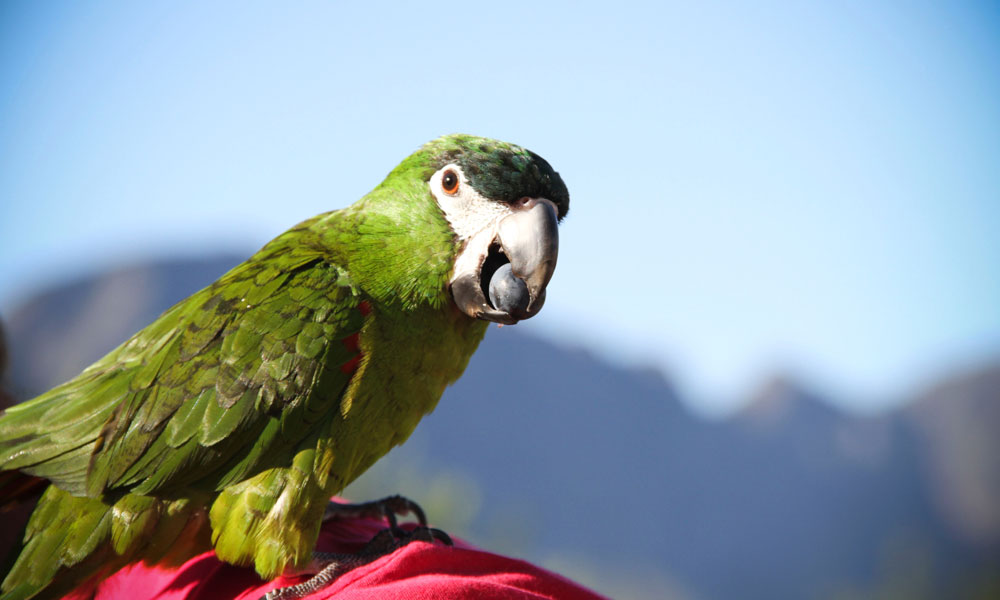 A parrot at Black Elephant Vintners