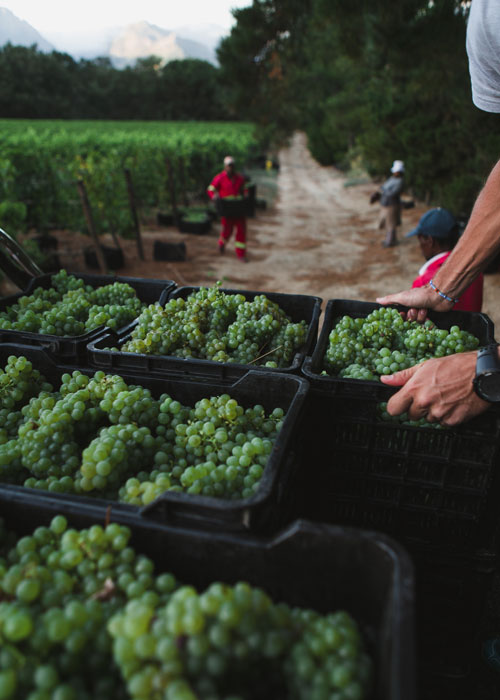Harvest at Black Elephant Vintners