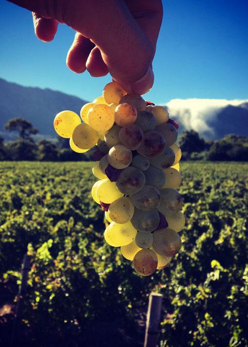 Grape at Black Elephant Vintners