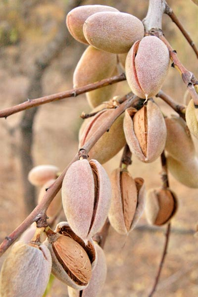 Nut Guide: Almond tree