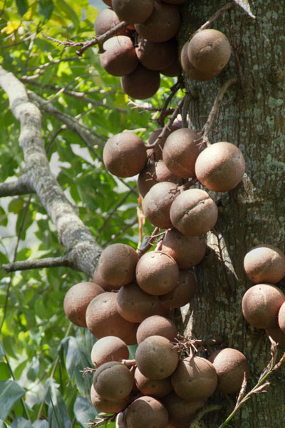 Nut Guide: Brazil Nut tree