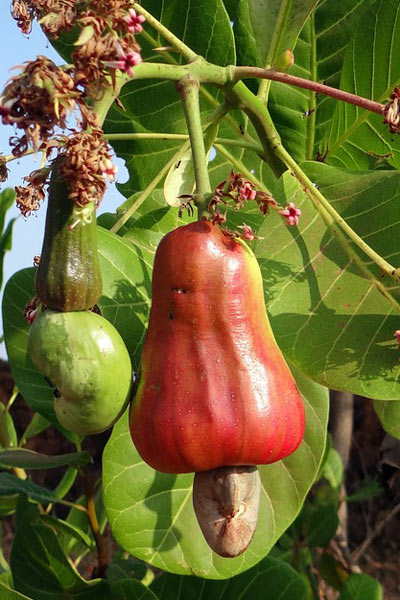 Nut Guide: Cashew nut on cashew apple