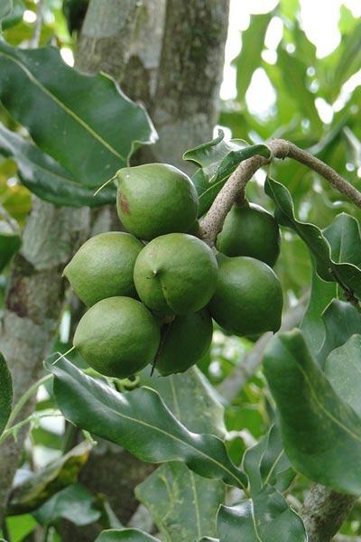 Nut Guide: Macadamia nut tree