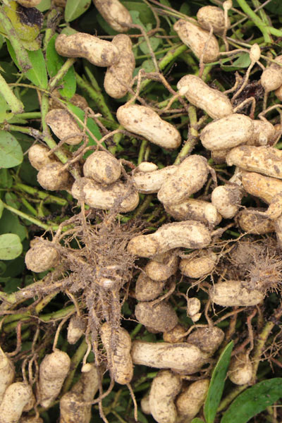 Nut Guide: Peanut roots