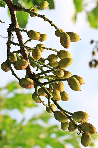 Nut Guide: Pistachio nut tree