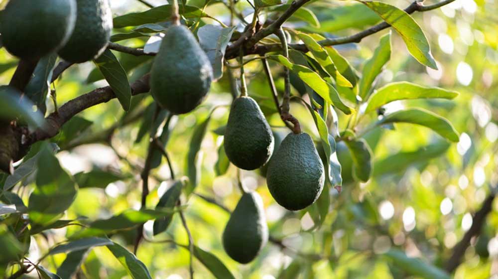 Westfalia Fruit's